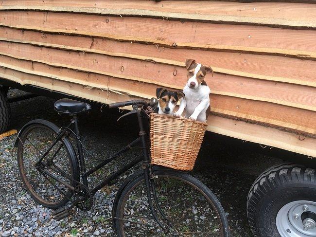 Two jack russell dogs in wicker basket on bike leaning against shepherd hut
