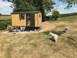 Woolly Sheep Shepherd Hut & sheep