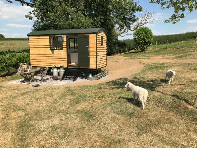 Woolly Sheep Shepherd Hut & sheep